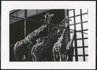 [Giraffes in fenced enclosure]