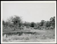 Warterhole in KNP with egrets, impala, wart hogs + baboons