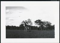 [Giraffe walking in grassland]