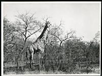 [Giraffe in tree filled bush]