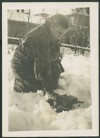 Roses under snow, Dec. 26, 1944