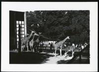 [Giraffes in fenced enclosure]
