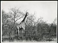 [Giraffe in tree filled bush]