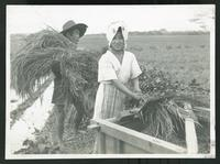 Farmers working with hay