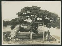 Two people on either side of an old pine tree