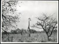 [Giraffe in grassland]